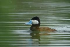 Lac de Grand-lieu - avifaune - Erismature à tête rousse