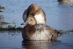 Lac de Grand-lieu - avifaune - Fuligule-milouin