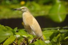 Lac de Grand-lieu - avifaune - Crabier-chevelu