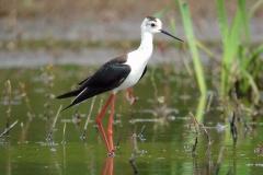 Lac de Grand-lieu - avifaune - Echasse blanche