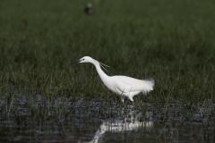 Lac de Grand-lieu - avifaune - Aigrette garzette