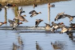 Lac de Grand-lieu - avifaune - Canard siffleur