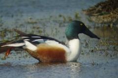 Lac de Grand-lieu - avifaune - Canard souchet