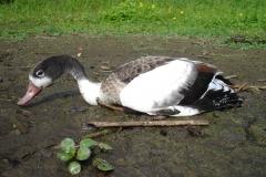 Lac de Grand-lieu - avifaune - botulisme