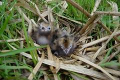 Lac de Grand-lieu - avifaune - nid de Guifette noire