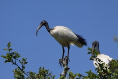 Lac de Grand-lieu - avifaune - Ibis sacré