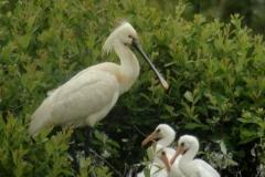 Lac de Grand-lieu - avifaune - Spatule blanche