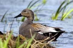 Lac de Grand-lieu - avifaune - Canard chipeau