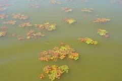 Lac de Grand-Lieu - herbiers flottants - chataignes d'eau