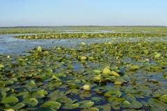 Lac de Grand-Lieu - herbiers flottants - nénuphars et chataignes d'eau