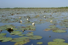 Lac de Grand-Lieu - herbiers flottants - nénuphars blanc