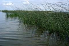 Lac de Grand-Lieu - herbiers flottants - scirpaies