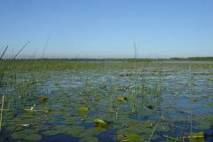 Lac de Grand-Lieu - herbiers flottants - scirpes lacustres