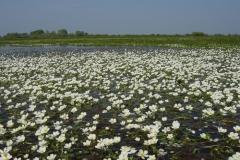 Lac de Grand-Lieu - prairies humides - renoncules