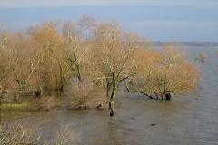 Lac de Grand-Lieu - roselière boisée - saules blancs