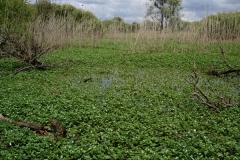 Lac de Grand-Lieu - roselière boisée - plantes invasives
