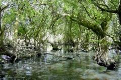 Lac de Grand-Lieu - roselière boisée - saule roux