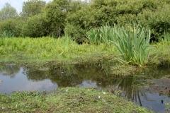 Lac de Grand-Lieu - roselière boisée - levis