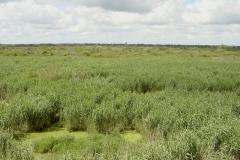 Lac de Grand-Lieu - roselière boisée - phragmites