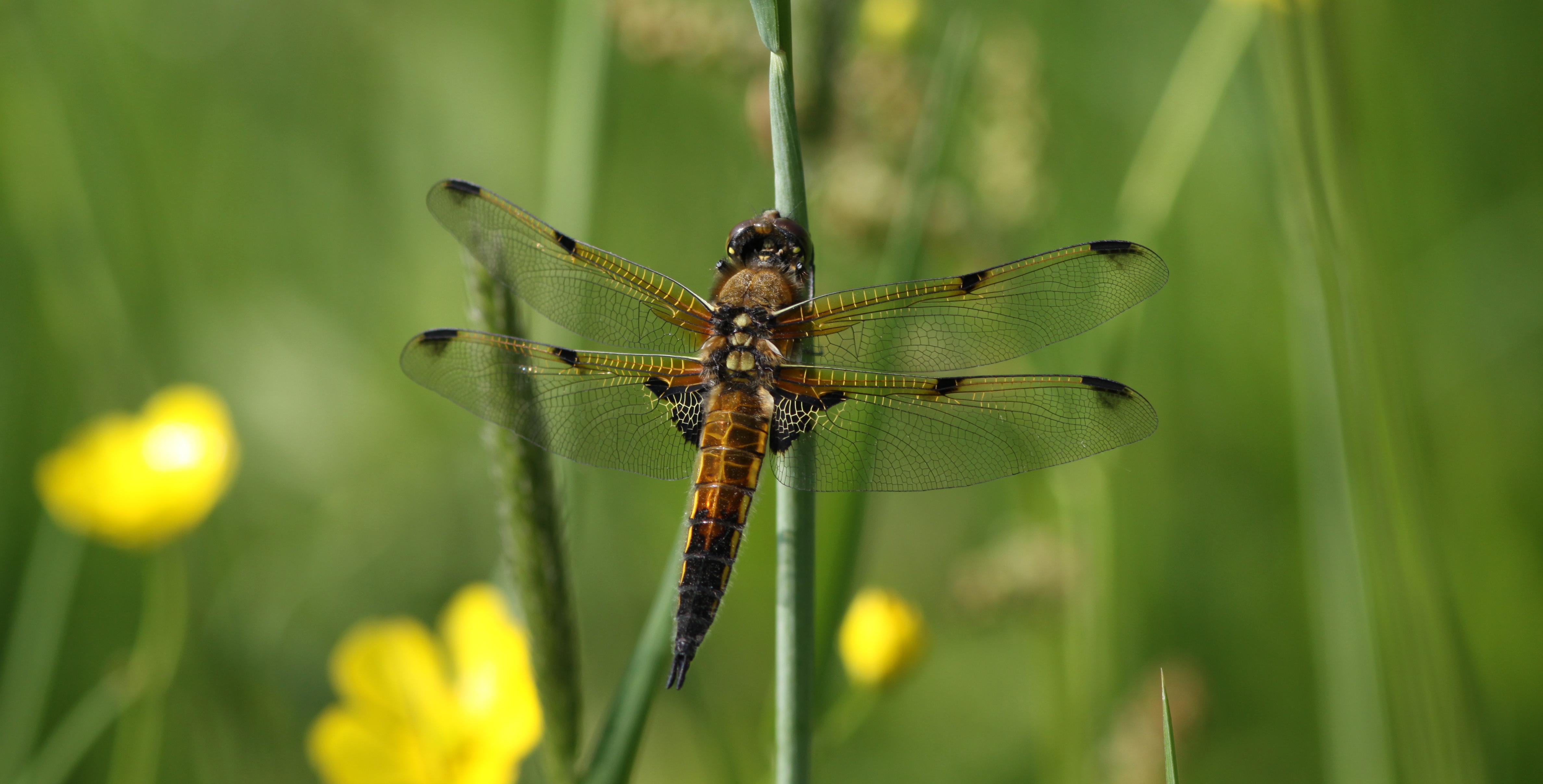 Libellula-quadrimaculata_taille_reduite