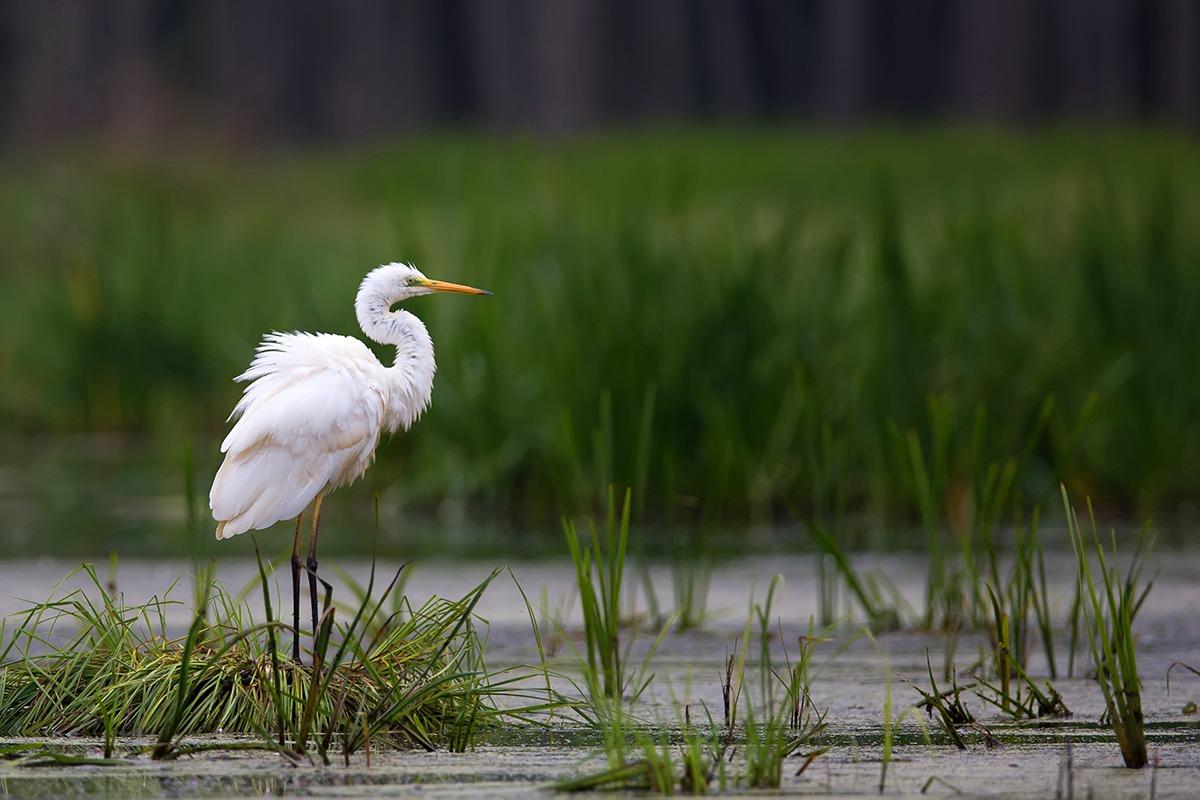 great-egret-SNPN-web